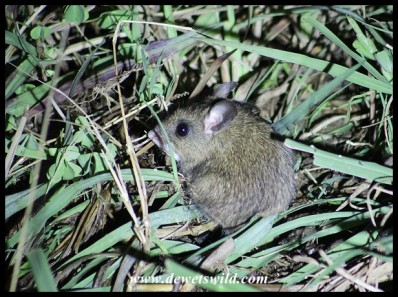 We think this is a Multimammate Mouse
