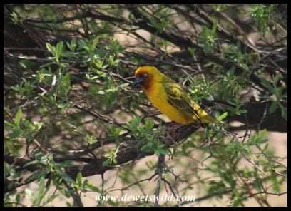 Cape Weaver (photo by Joubert)