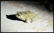 Guttural Toad (photo by Joubert)