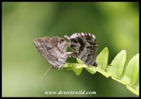 Geranium Bronze butterflies mating