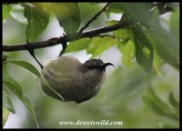 Female Greater Double-Collared Sunbird
