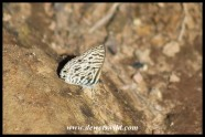 Common Zebra Blue