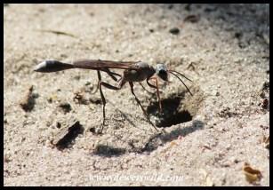 Thread-waisted Wasp preparing her larder