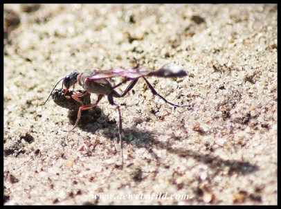 Thread-waisted Wasp returning to the nest with a paralysed victim